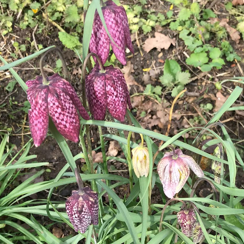 Fritillaries at Cricklade